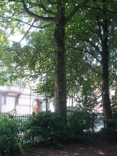Chêne des marais – Jette, Parc Garcet, Rue Gustave Van Huynegem –  13 Juillet 2005