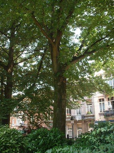 Chêne rouge d'Amérique – Jette, Parc Garcet, Rue Léon Theodor –  13 Juillet 2005