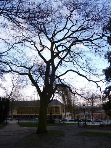 Sophora du Japon – Jette, Parc Garcet, parc –  17 Janvier 2014