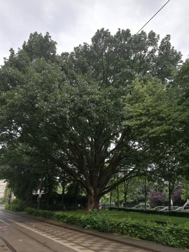 Chêne de Hongrie<br>Jette  Avenue Secrétin