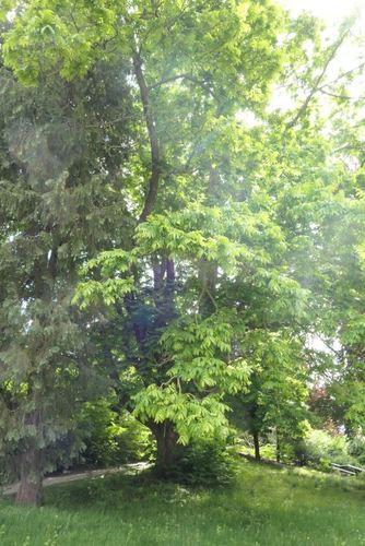 Kaukasische vleugelnoot<br>Jette Jules Lorgesquare Jules Lorgesquare