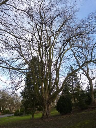Ptérocaryer à feuilles de frêne<br>Jette Square Jules Lorge Square Jules Lorge