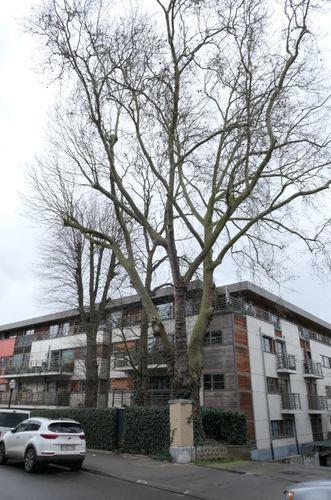 Gewone plataan – Jette, Henri Werriestraat –  14 Oktober 2019