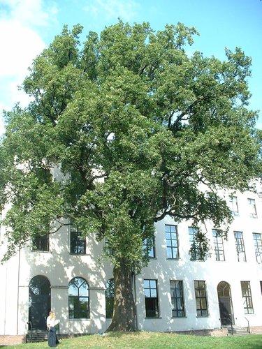 Chêne pédonculé – Jette, Parc du Sacré-Cœur de Jette, Avenue du Sacré-Coeur, 8 –  22 Septembre 2003