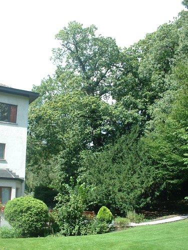 Châtaignier – Jette, Parc de la clinique Sans Souci, Avenue de l'Exposition Universelle, 218 –  20 Août 2004