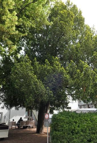 Venijnboom – Jette, Park van de Sans Souci kliniek, Wereldtentoonstellingslaan, 218 –  18 Juni 2019