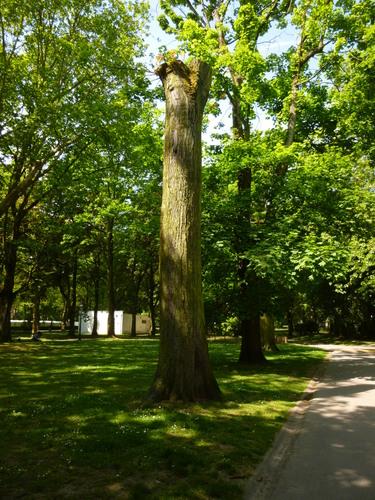 Acer saccharinum 'Aspleniifolium' – Koekelberg, Parc Elisabeth –  05 Avril 2014