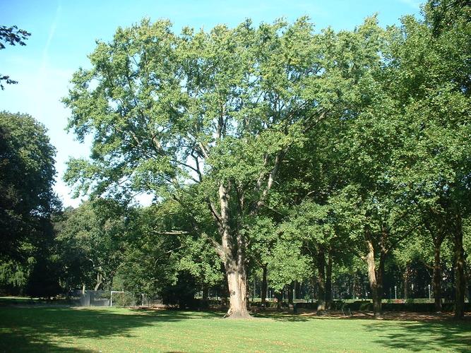 Acer saccharinum var. laciniatum<br>Koekelberg Parc Elisabeth
