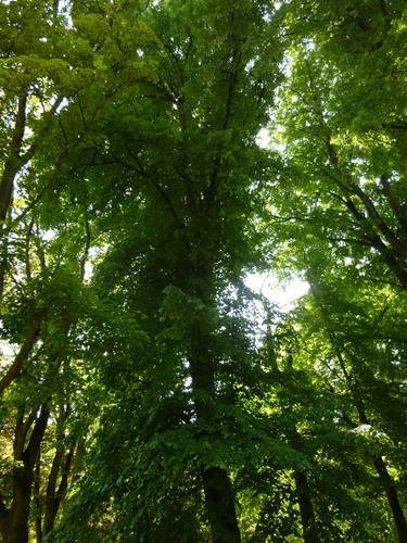 Tilleul d'Amérique – Koekelberg, Parc Elisabeth –  05 Mai 2014