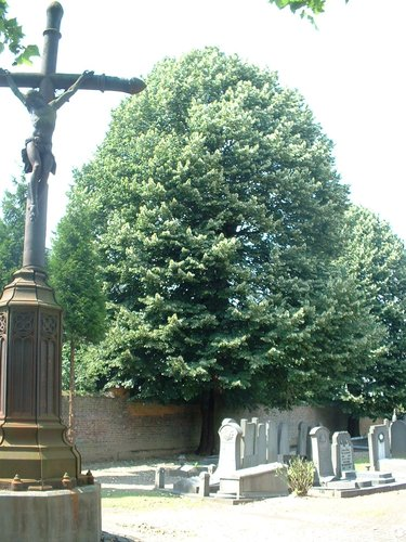 Tilleul argenté – Molenbeek-Saint-Jean, Cimetière de Molenbeek-Saint-Jean, cimetière –  28 Juin 2004