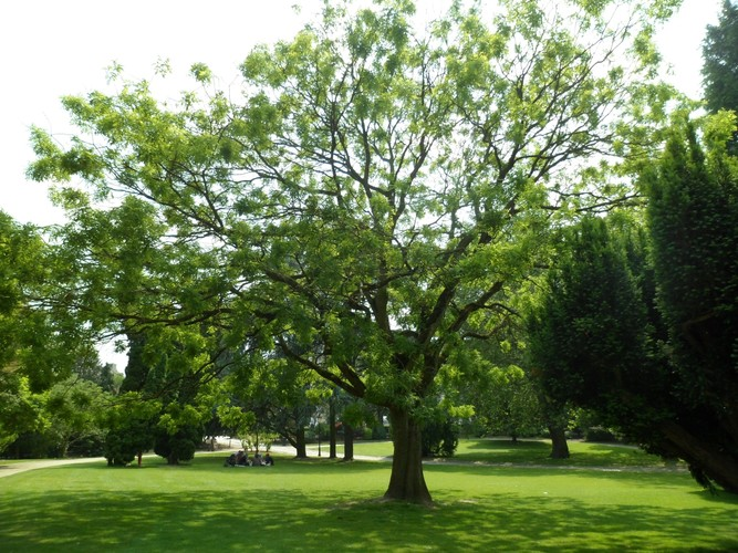 Sophora du Japon – Molenbeek-Saint-Jean, Parc du Karreveld  –  30 Mai 2012