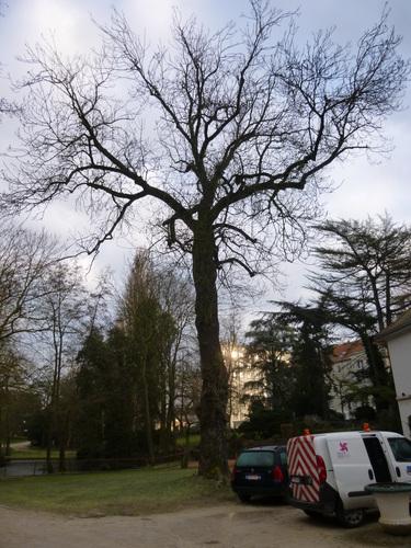 Gewone es – Sint-Jans-Molenbeek, Marie-Josépark –  05 February 2015