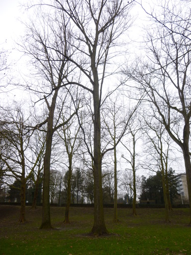 Canadese populier – Sint-Jans-Molenbeek, Marie-Josépark –  11 February 2015
