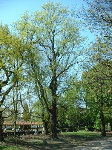 Tulipier de Virginie – Molenbeek-Saint-Jean, Parc des Muses, parc –  15 Avril 2003