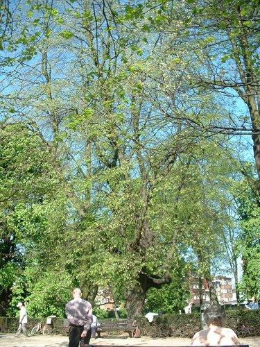Tilleul argenté pleureur – Molenbeek-Saint-Jean, Parc des Muses, parc –  15 Avril 2003