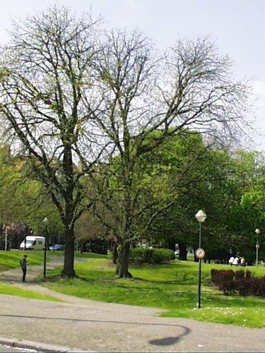 Frêne de Biltmore<br>Schaerbeek Avenue Huart Hamoir et Square Riga Avenue Huart Hamoir