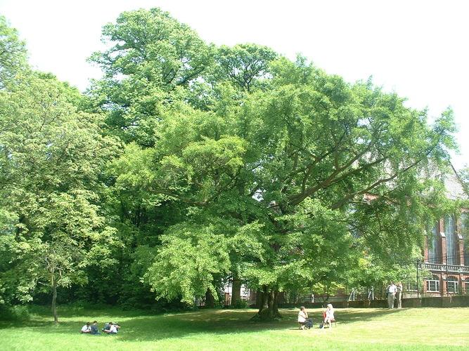 Arbre aux quarante écus – Schaerbeek, Parc Walckiers, Rue Chaumontel, 6 –  26 Mai 2005