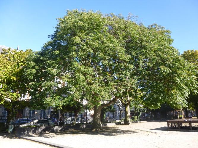 Hemelboom – Schaarbeek, de Jamblinne de Meuxplein, de Jamblinne de Meuxplein, face 34 –  29 September 2015