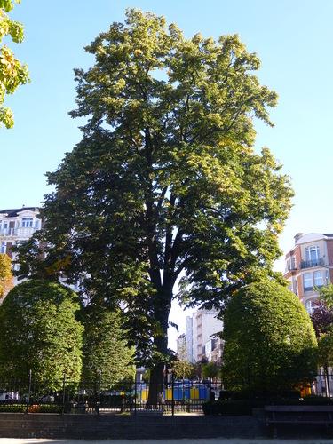 Tilleul argenté – Schaerbeek, Place de Jamblinne de Meux, Place de Jamblinne de Meux –  29 Septembre 2015