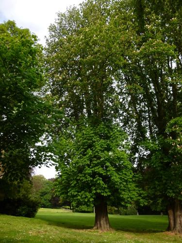 Marronnier commun – Schaerbeek, Parc Josaphat –  14 Mai 2014