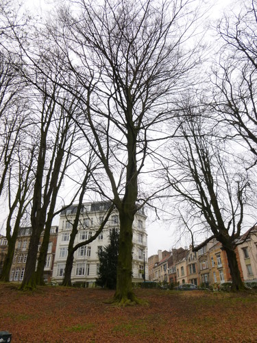 Frêne commun – Schaerbeek, Parc Josaphat –  17 Mars 2014