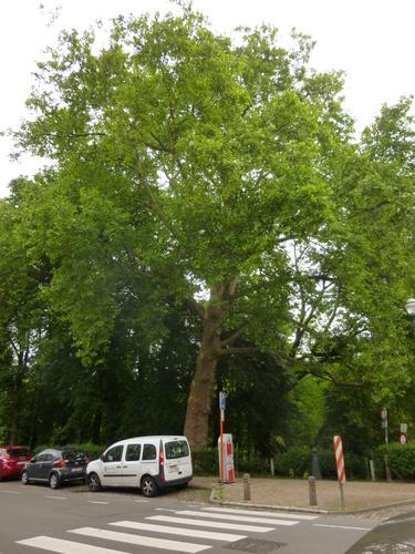 Platane à feuille d'érable – Schaerbeek, Parc Josaphat, Avenue des Azalées –  14 Mai 2014