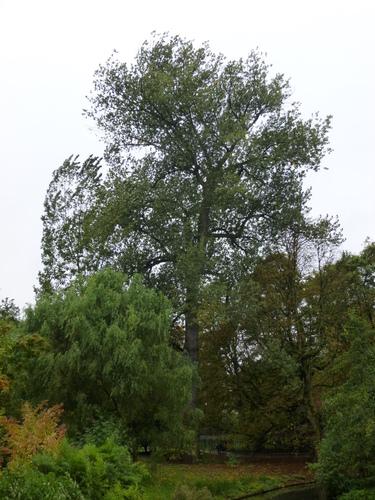 peuplier du canada schaerbeek parc josaphat populus x canadensis inventaire des arbres. Black Bedroom Furniture Sets. Home Design Ideas