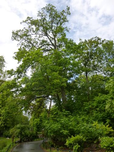 Kaukasische vleugelnoot – Schaarbeek, Josaphatpark –  12 Mei 2014