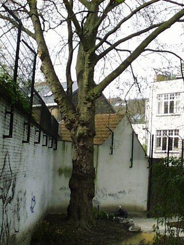 Gewone plataan – Schaarbeek, Lacroixpark, Prinses Elisabethlaan, 30/38 –  22 April 2002