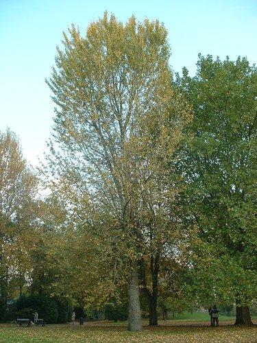 Peuplier baumier de l'Est – Anderlecht, Parc de Scherdemael, parc –  22 Octobre 2003