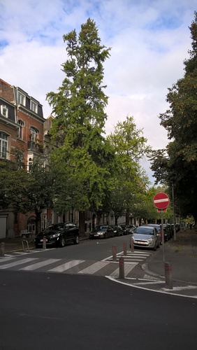 Ginkgo biloba 'Fastigiata' – Schaerbeek, Avenue Huart Hamoir et Square Riga, Avenue Huart Hamoir, 117 –  24 Septembre 2015