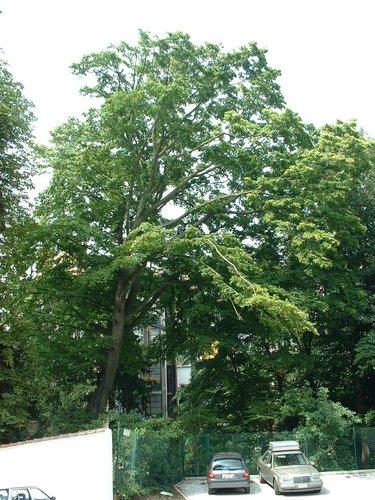 Charme commun – Saint-Gilles, Jardin de l'ancienne propriété Robie, Rue Saint-Bernard, 74 –  08 Août 2002