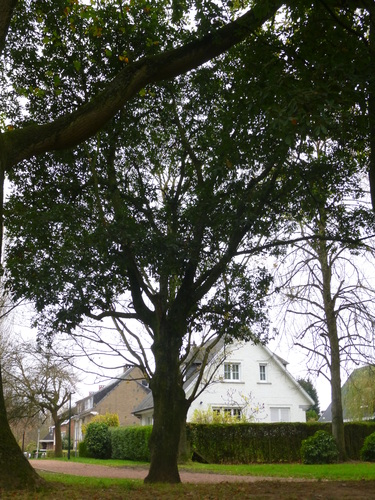 Oostenrijkse eik – Anderlecht, Scherdemaelpark, parc –  16 November 2015