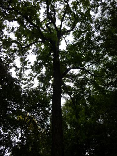 Noyer noir – Saint-Josse-Ten-Noode, Jardin Botanique –  12 Août 2013