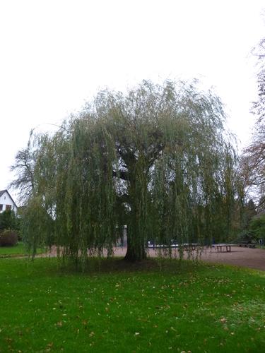 Treurwilg – Anderlecht, Scherdemaelpark, parc –  16 November 2015