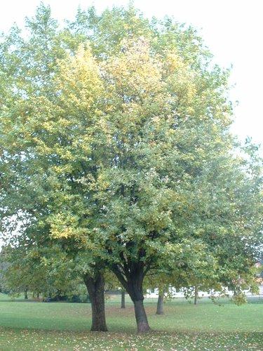 Sorbier blanc/Alouchier – Anderlecht, Parc de Scherdemael –  22 Octobre 2003