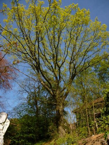 Chêne rouge d'Amérique – Uccle, Ancienne propriété Buyssens, Avenue Fond'Roy, 77 –  10 Avril 2014