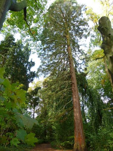Sequoia géant – Uccle, Parc Fond'Roy –  18 Octobre 2013