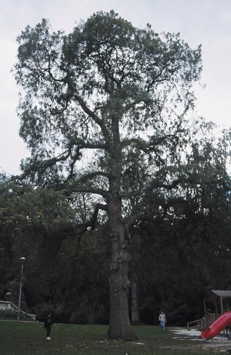 Castanea sativa 'Heterophylla' – Ukkel, IRSApark, Waterlose Steenweg, 1504 –  24 September 2003
