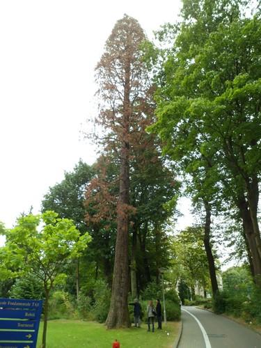 Sequoia géant – Uccle, Parc de l'IRSA, Chaussée de Waterloo, 1504 –  14 Septembre 2012