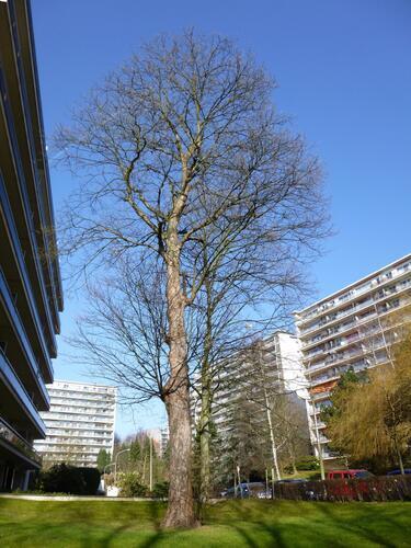 Gewone esdoorn – Ukkel, Jean Burgerslaan, 1 –  05 Maart 2013