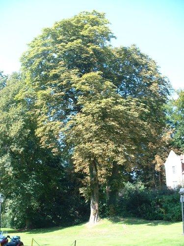 Marronnier commun – Auderghem, Parc du château Sainte Anne, Rue du Vieux Moulin, 103 –  30 Août 2005