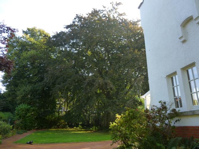 Hêtre pourpre – Uccle, Avenue Fond'Roy, 126 –  03 Septembre 2013