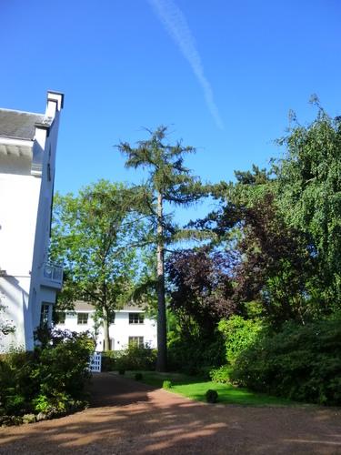 Mélèze d'Europe – Uccle, Avenue Fond'Roy, 126 –  03 Août 2013