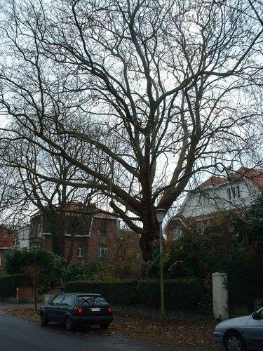 Platane à feuille d'érable – Uccle, Avenue Victor-Emmanuel III, 36 –  15 Décembre 2005