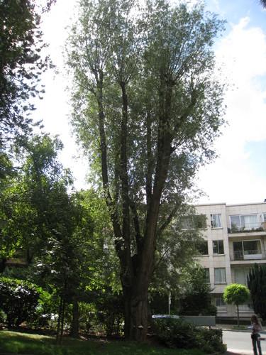 Saule blanc – Uccle, Avenue Montjoie, 171 –  01 Janvier 1995