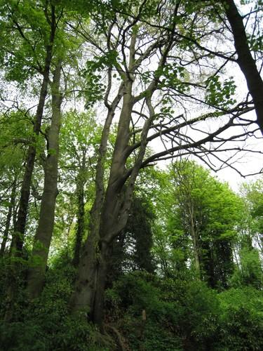 Hêtre d'Europe – Uccle, Parc Raspail –  14 Avril 2011
