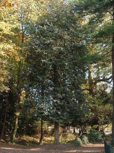 Ilex aquifolium 'Pyramidalis' – Uccle, Parc Raspail –  05 Novembre 2003