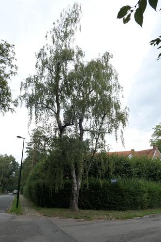 Bouleau verruqueux – Uccle, Avenue Blücher, 150 –  29 Août 2018