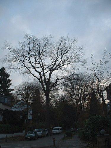 Chêne rouge d'Amérique – Uccle, Avenue des Chênes –  15 Décembre 2005